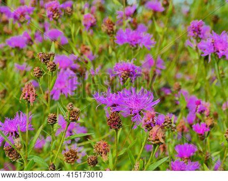 The Bright Blooming Wildflower Cornflowers Green Meadow