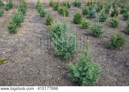 Plantatnion Of Young Green Fir Christmas Trees, Nordmann Fir And Another Fir Plants Cultivation
