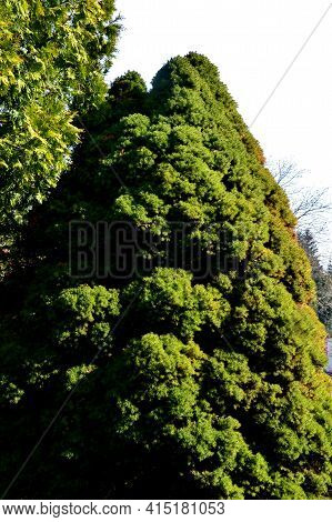 This Dwarf White Spruce. Its Natural Shape Is Almost Regularly Conical, It Is Not Necessary To Cut I