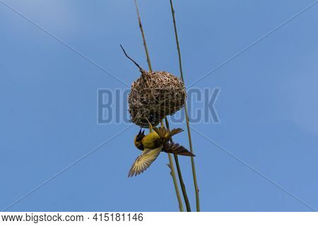 A Village Weaver (ploceus Cucullatus), Hanging Upside Down On Its Nest Built On A Palm Tree In The W