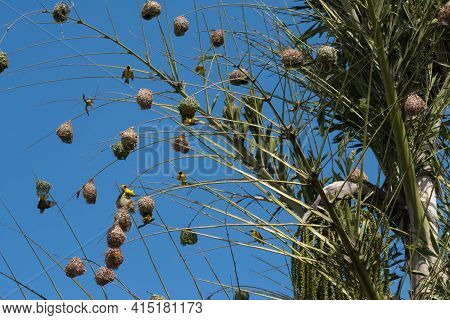 A Large Colony Of Village Weaver (ploceus Cucullatus) Nests Built High-up On The Top Fronds Of A Pal