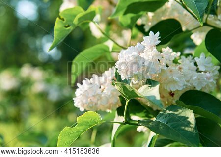 White Lilac Shrub Flowers Blooming In Spring Garden. Common Lilac Syringa Vulgaris Bush. Close-up Wi