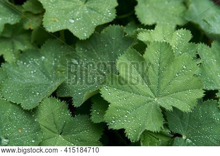 Alchemilla Mollis: The Leaves Of Lady's Mantle After A Rain With Water Droplets Spring Out In The Ga