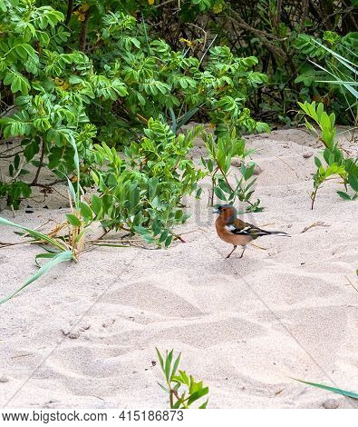 Orange Finch. A Little Red Bird On The Sand. Bird With An Orange Breast And Gray Head. Fringillidae.