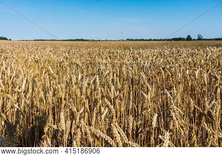 Spikes On Farmland. Wheat Field. Cultivation Of Cereals.