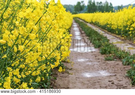 A Field Of Yellow Blooming Rapeseed. Farm Field Of Oilseed Crops. Farmland Of Mature Canola.