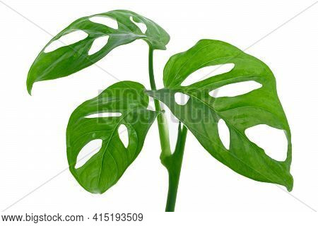 Leaves Of Tropical Plant - Monstera Adansonii Also Called Monstera Monkey Isolated On A White Backgr