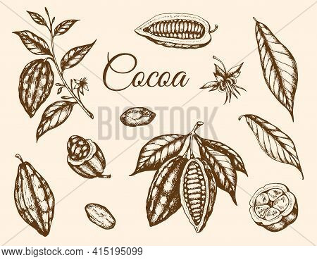 Set Of Vector Hand Drawn Cocoa Plants And Cocoa Beans. Vintage Style Illustration