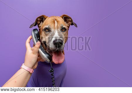 Dog In A Sweater, Dog At Work With A Purple Wall. Pets At Work Concept, Pets Working Like People.