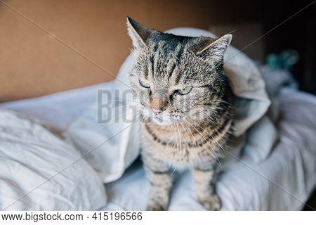 Funny Portrait Arrogant Short-haired Domestic Tabby Cat Relaxing On Bed At Home. Little Kitten Lovel