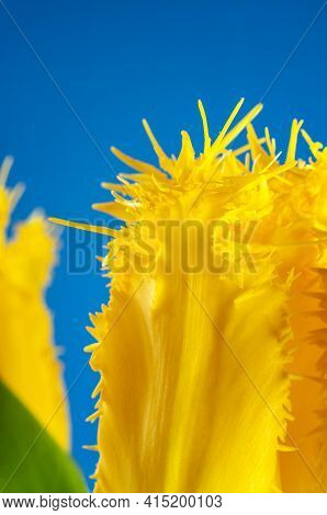 The Bizarre Shaped Petals Of A Yellow Flower Head Of A Parrot Tulip