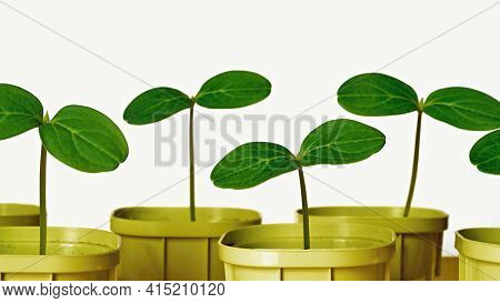 Young Green Plants Or Shoots Seedlings Of Agricultural Crops Closeup In Pots For Growingon A White B