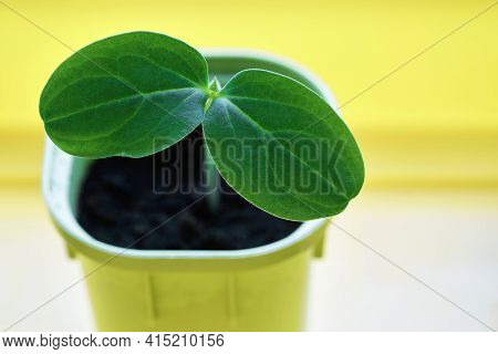 New And Young Green Plant Or Seedlings Of Agricultural Crop In One Pot For Cultivation And Closeup
