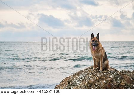 Beautiful Dog Sitting High And Posing, Walking Outdoors In Nature. German Shepherd Of Black And Red