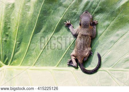 Indian Palm Squirrel (funambulus Palmarium) Pup, A Kit About A Month Old. Thailand