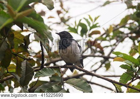 Winter Tropical Treescape. Oriental Magpie-robin (copsychus Saularis) Among The Vines. Sri Lanka