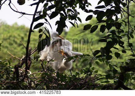 Intermediate Egret (egretta Intermedia). Brood In Nest. The Fledglings Have Grown Up And Aggressivel