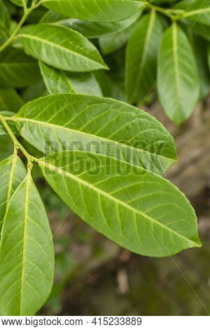 Green Fresh Beautiful Leaves Close-up. Selective Focus. Natural Texture