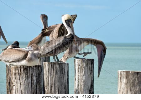 family of brown pelicans and tem standing on a pier post poster