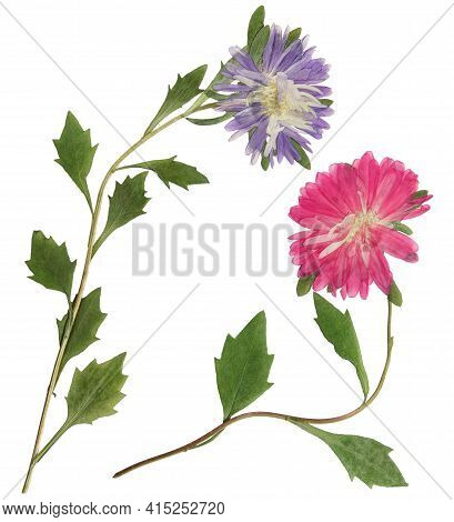 Pressed And Dried Flowers Aster (michaelmas Daisy) On Stem With Green Leaves. Isolated On White Back