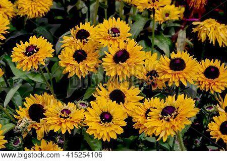 Flower Of The Gloriosa Daisy