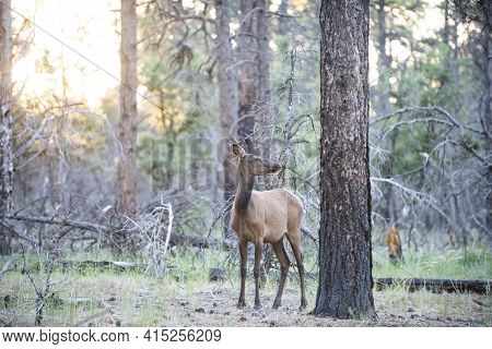Nature Animals Concept. White-tailed Roe Bambi, Fawn Young Capreolus. Beautiful Wildlife Buck
