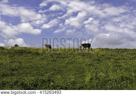 Pastoral View. Cows Grazing On A Blooming Field Against The Background Of The Sky