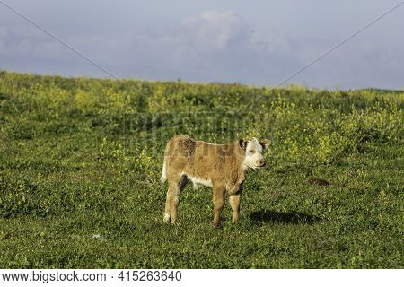 Pastoral View. Calf On A Blooming Field Against The Sky