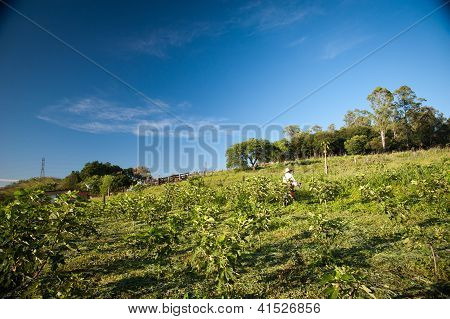 Person Working In A Fig Plantation