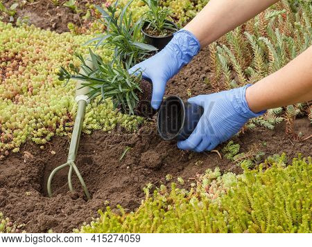 Gardener In Nitrile Gloves Is Planting Clove Flowers On A Garden Bed Using A Small Rake. Flower Bed