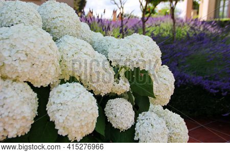 Giant Inflorescences Of Spherical White Hydrangea, Very Large Flowers, Purple Lavender On The Backgr