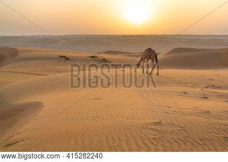 Dromedary Camel In The Early Morning In Arabian Desert. Rising Sun On The Horizon. Wahiba Sands, Oma