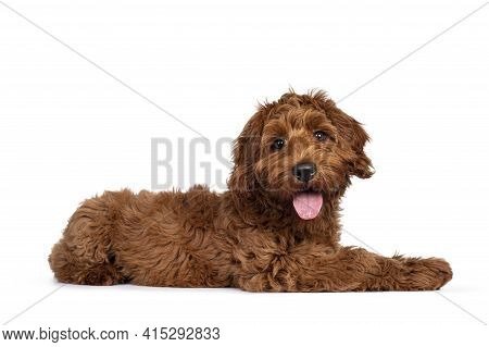 Adorable Red Cobberdog Aka Labradoodle Dog Puppy, Laying Down Side Ways. Looking Straight To Camera,
