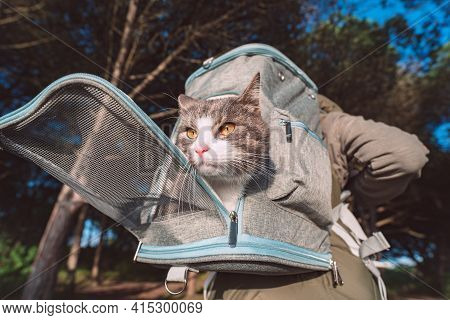 Funny Tabby Cat Looking Out From Backpack Carrier. Backpack For Carrying Animals