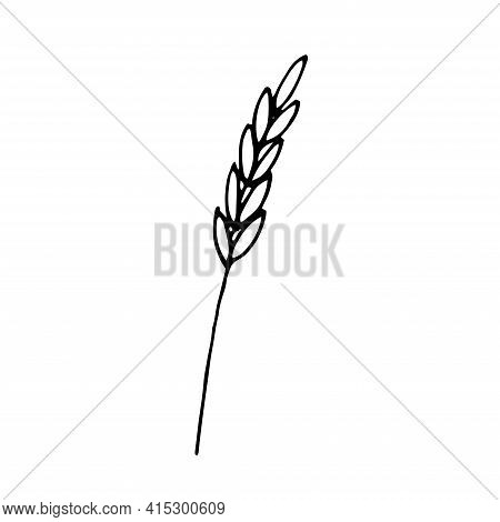 Wheat Spikelet Vector Illustration Hand Drawing Sketch