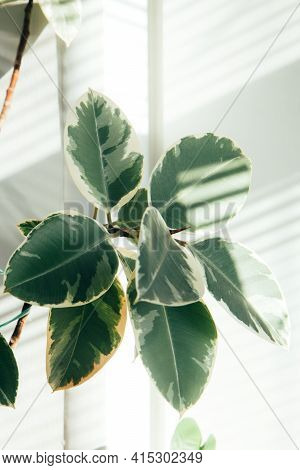 Indoor Evergreen Potted Plant On A Light Background