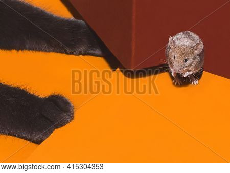 Paws Of A Black Cat Close-up With A Mouse Rodent Cornered.