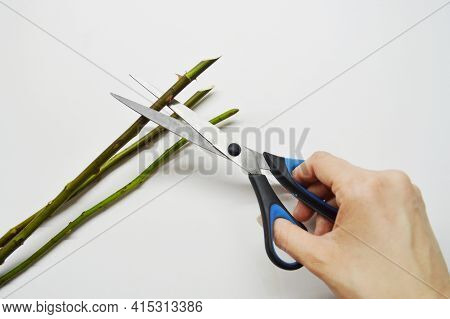 Woman Cuts Stems Of Roses With Thorns On White Background.