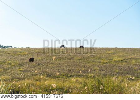 Cows Feeding In Pasture Fields