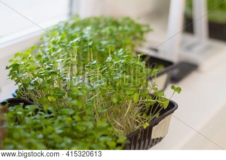 Young Cress Sprouts On The Windowsill In A Container Of Water In The Kitchen At Home In The Spring.