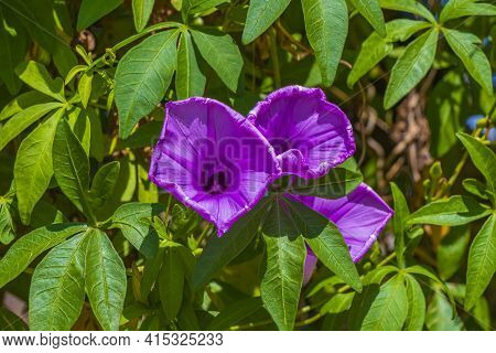 Mexican Petunia Ruellia Brittoniana Flower On Fence With Green Leaves.