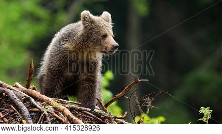 Little Brown Bear Cub Standing On Sticks In Summer Forest