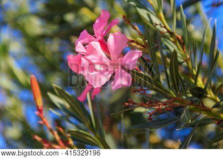 Blooming Pink Nerium Oleander In A Garden