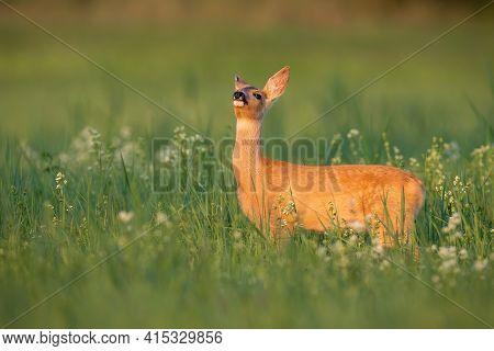 Roe Deer Sniffing On Blooming Meadow In Summer Sunlight