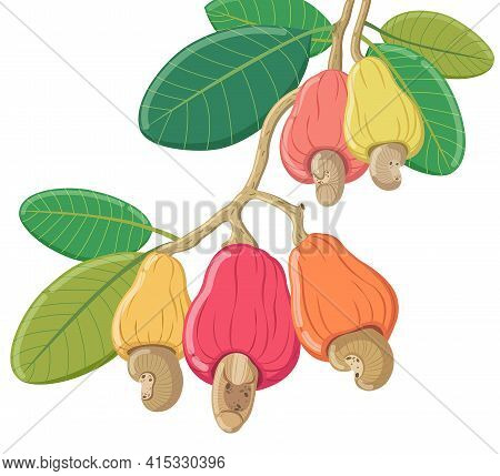 Vector Cashew On White Background,vector Cashew Isolated Nuts Illustration.