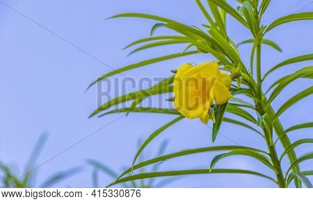 Yellow Oleander Flower On Tree With Blue Sky In Mexico.
