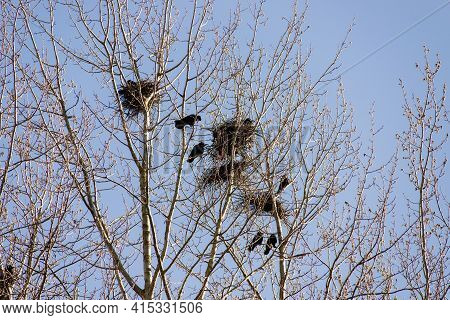 Crows Making Nests In Trees In Early April. Ornithology Concept. Classic Blue Sky Background.