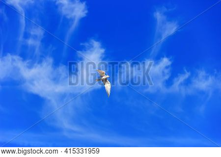 Sabine's Gull (xema Sabini) In Winter Plumage Perhaps. The Place Of Wintering. Beautiful Clouds Stre