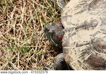 Amboina Box Turtle (cuora Amboinensis) On The Shore Of A Pond, Endangered Species, Thailand