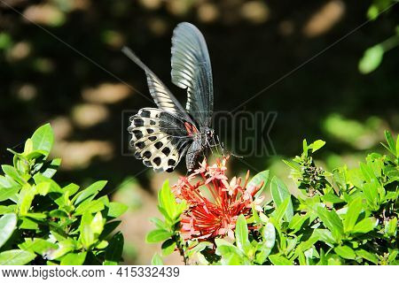 Huge Butterfly (12 Cm) Collects Nectar From A Flowers Of West Indian Jasmine (ixora Coccinea). Swall
